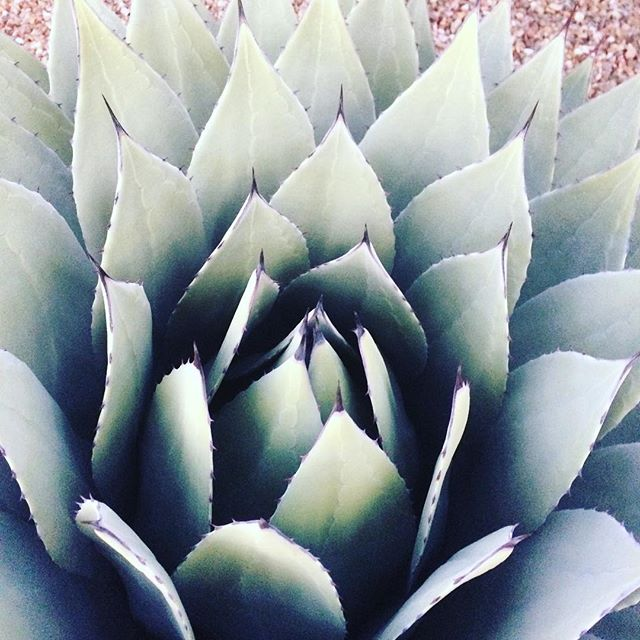 more beauty from the desert.  #grateful #beauty #desert #outsideeveryday #succulents
