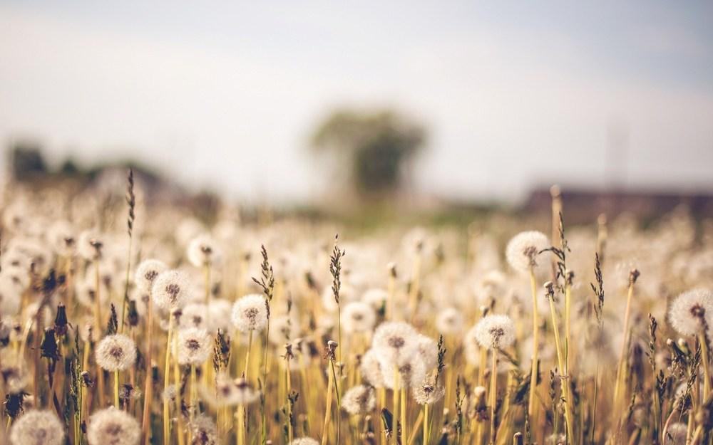 nature dandelions.jpg