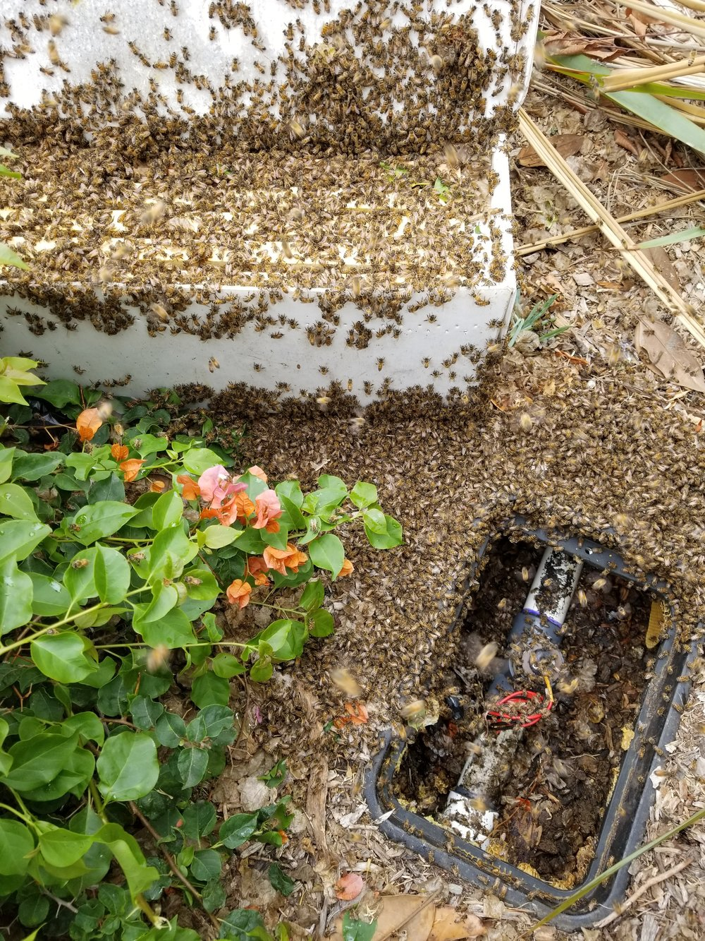 HoneY Bee Rescue, removal, and relocation in ventura county