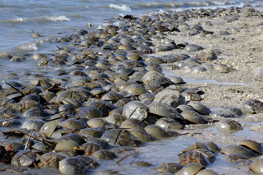 Horseshoe crabs coming ashore to get it on. (c) Gregory Breese/USFWS