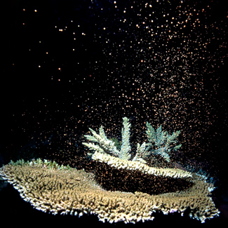 Coral spawning on GBR. Photo credit: Tusa Dive via Australian Geographic
