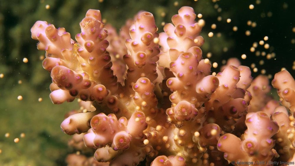 Coral releasing egg-sperm bundles. Photo credit: Auscape UIG/Getty via BBC.com