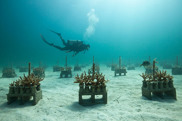 Staghorn coral farm. Photo credit: The Nature Conservancy