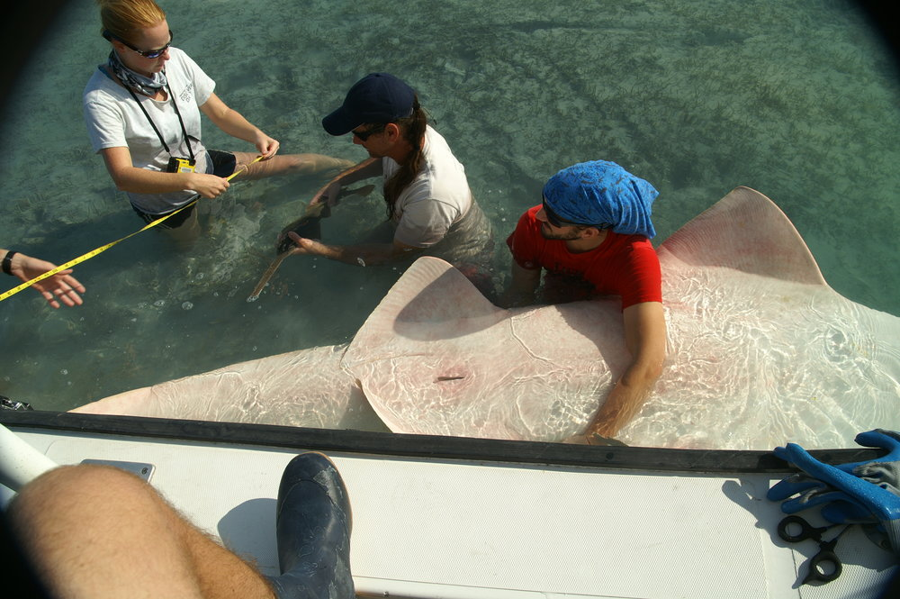 Dr. Dean Grubbs and colleagues assist and document sawfish live birth. Photo credit: FSU