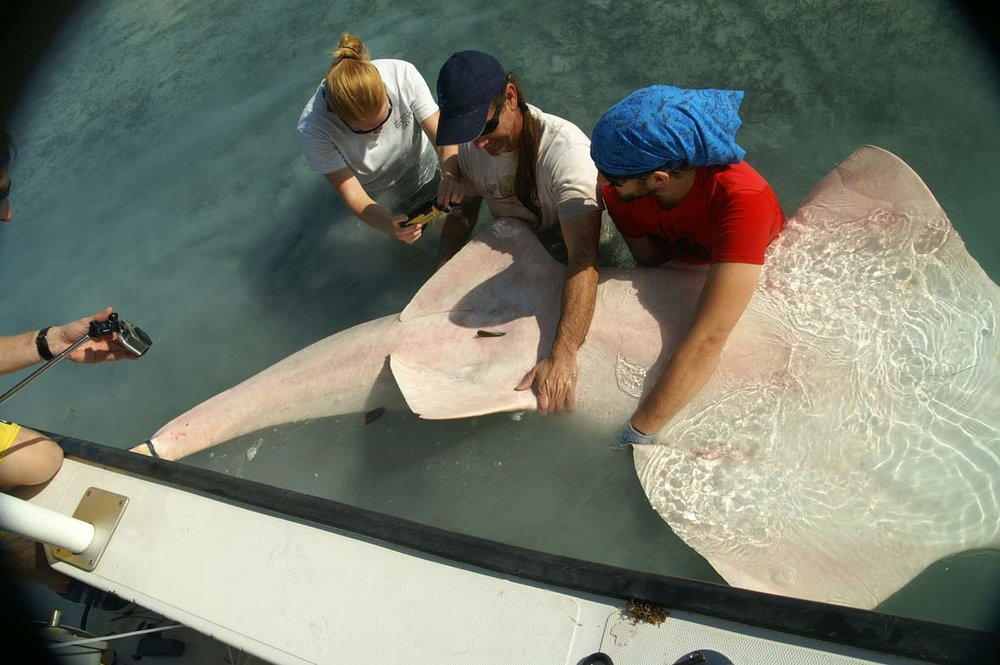 Dr. Dean Grubbs and team assist pregnant female smalltooth sawfish with live birth. Photo Credit:  FSU Coastal and Marine Lab.
