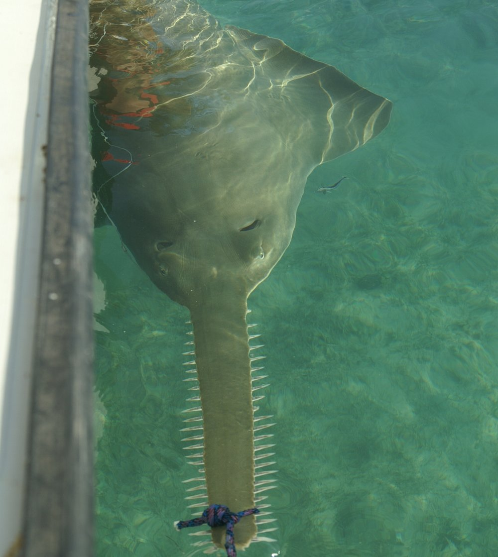 Researchers secure a 14ft pregnant female sawfish for tagging. Photo credit:  FSU Coastal and Marine Lab.