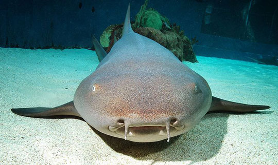 Tawny nurse shark. Credit:  Dive-the-World .