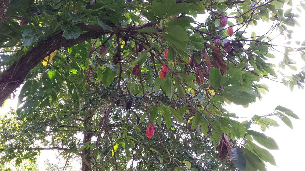 Trinitario cacao tree, Grenada.