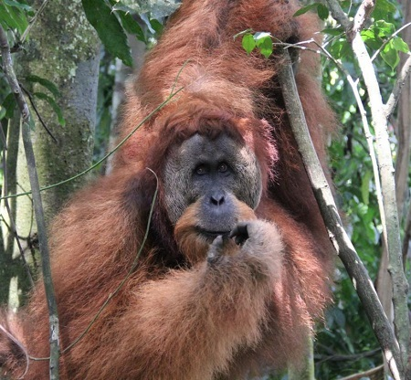 Big male orangutan