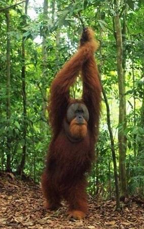 Orang-Utan Männchen stehend