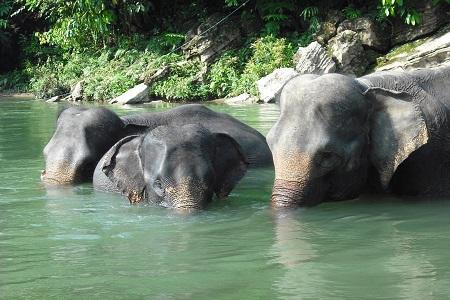 Elefanten in Tangkahan