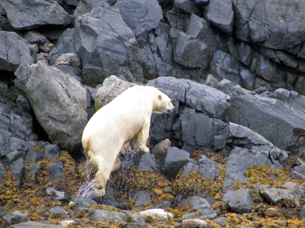 Polar bear leaving water in Torngats