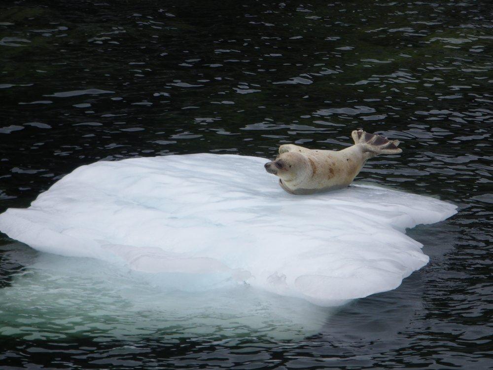 seal on icepad.jpg