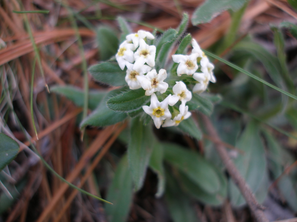 Lithospermum distichum flowers_2.jpg