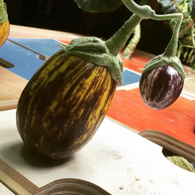 Colorful little eggplants grown indoors at Mill 180 Park #botany