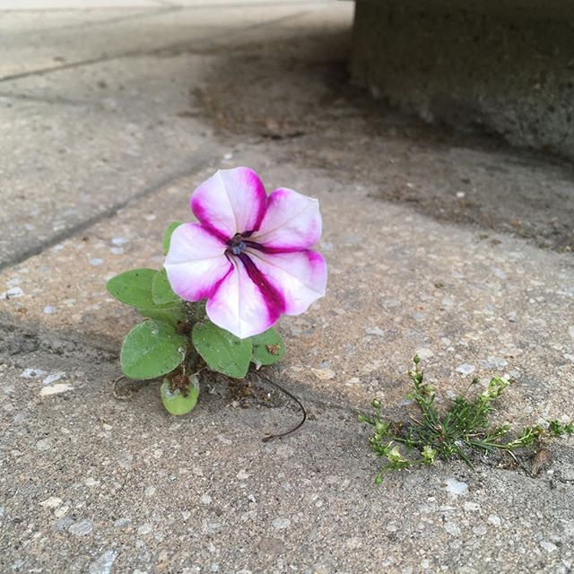 A little petunia, a relative of the tomato and potato #botany