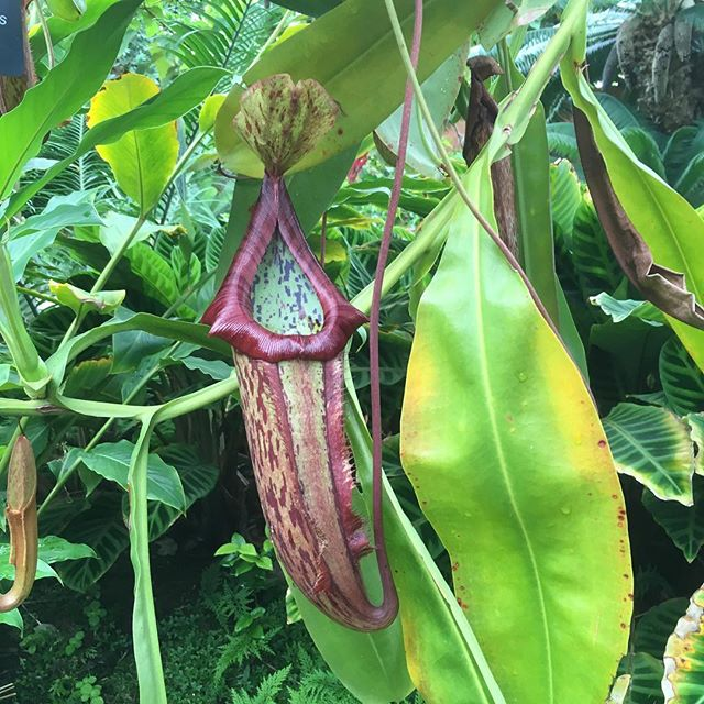 Nepenthes, old world pitcher plants #botany