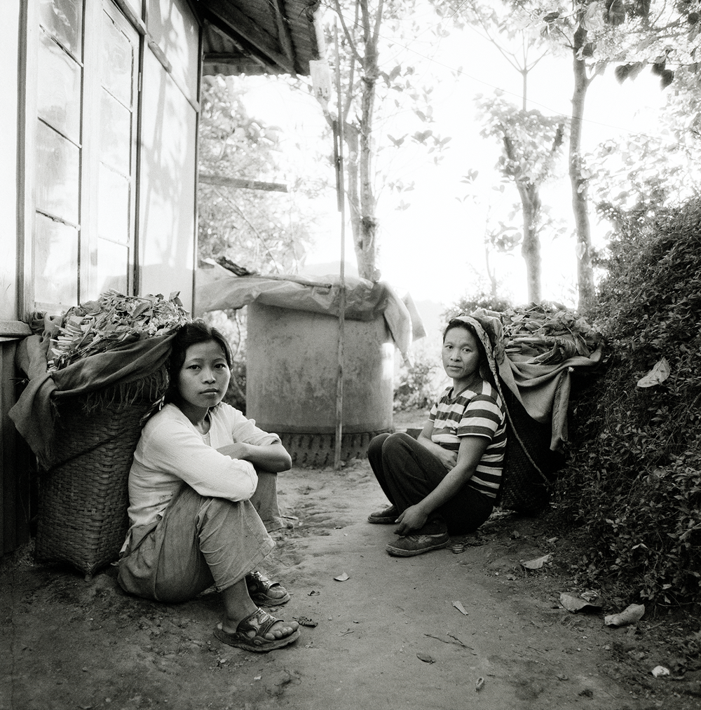 Tea Gatherers' in Late Afternoon- Environs of Aizwal, Mizorim, India