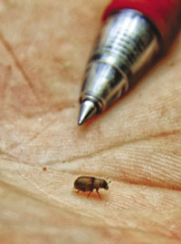 Pine beetles are TINY!