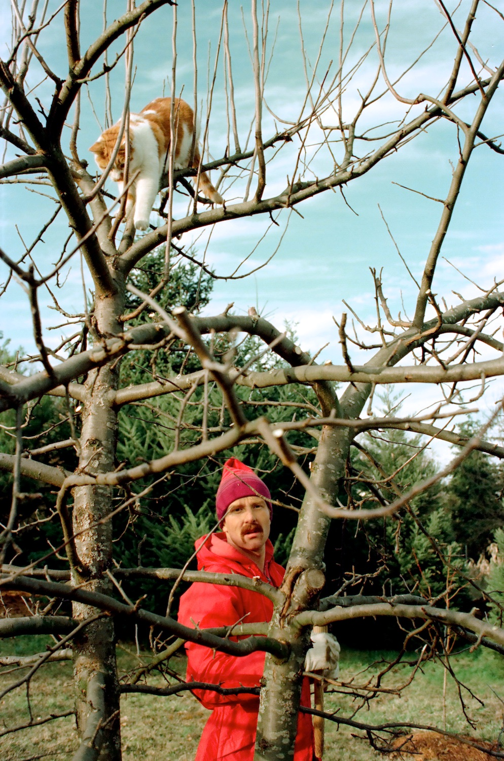 Apple tree pruning accommodated Archie's favorite fantasy:  Big cat in charge of the forest!