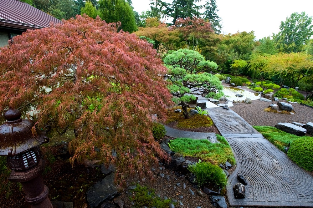 And here's that Japanese maple!