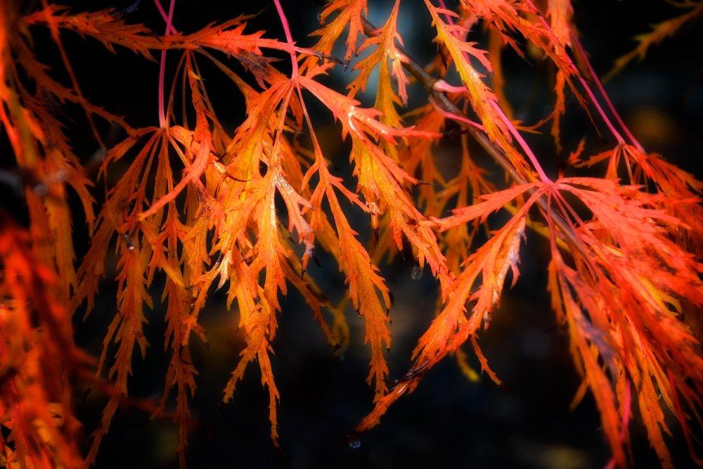 Detail: Japanese maple  Acer palmatum   dissectum  'viridis
