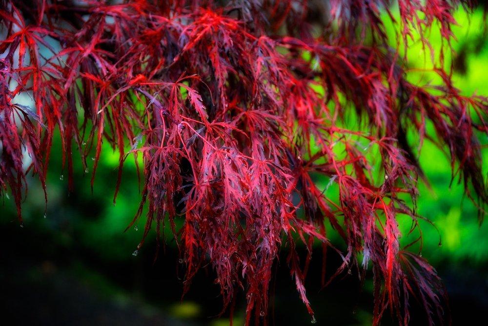 Detail:  Acer palmatum dissectum  'Crimson queen'