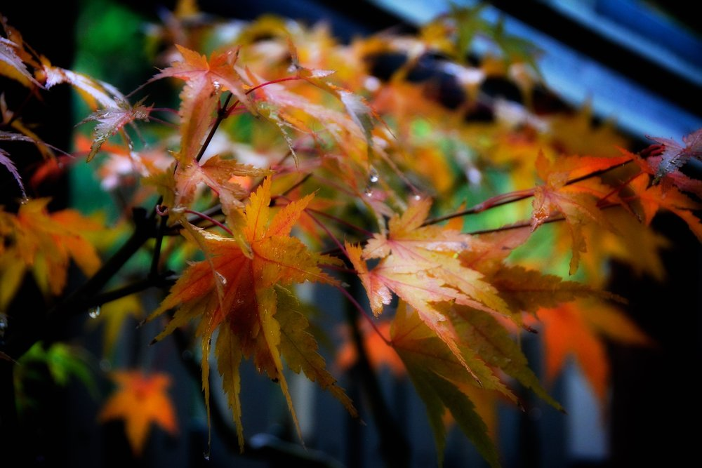 Detail: Acer palmatum (greenleaf)