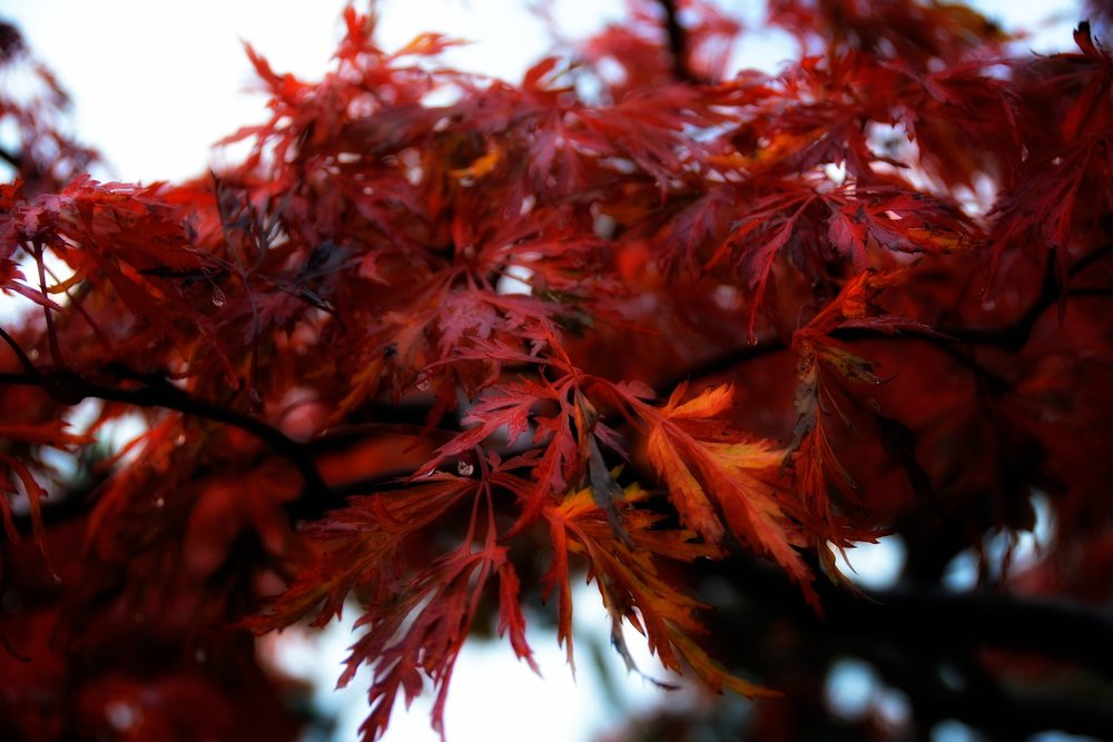 "Detail: Acer japonicum ""green cascade full moon'"
