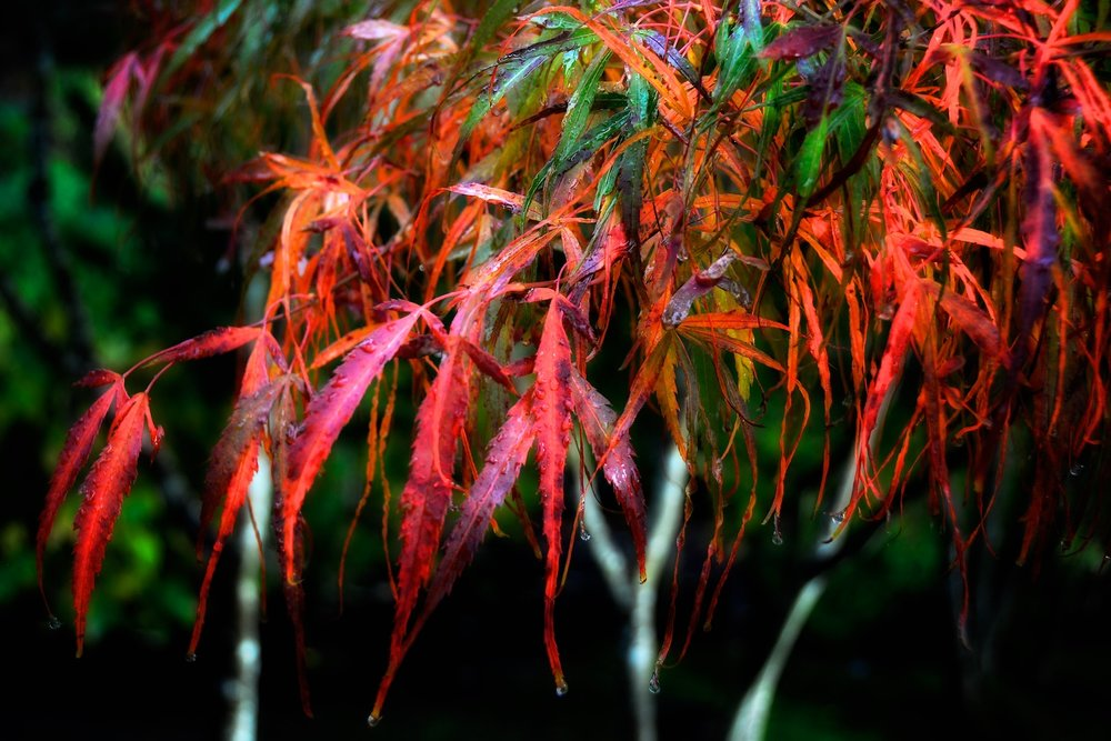 Detail: Acer palmatum dissectum 'koto no ito' (strings of the koto)