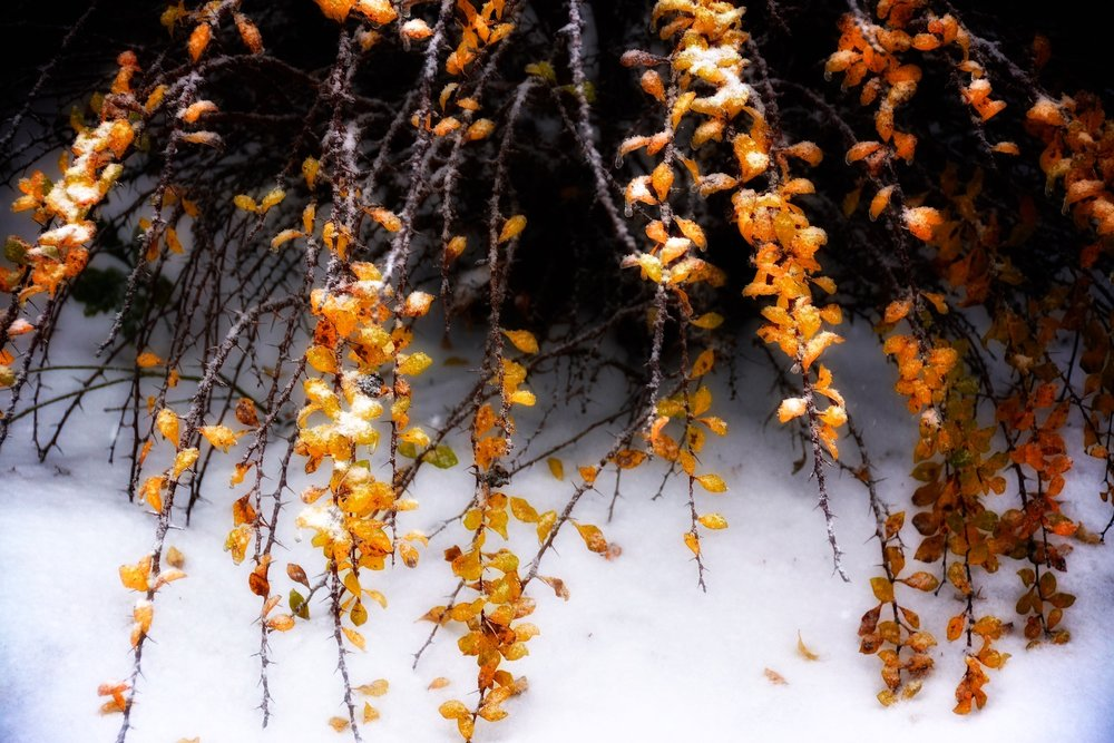 Golden shower of barberry