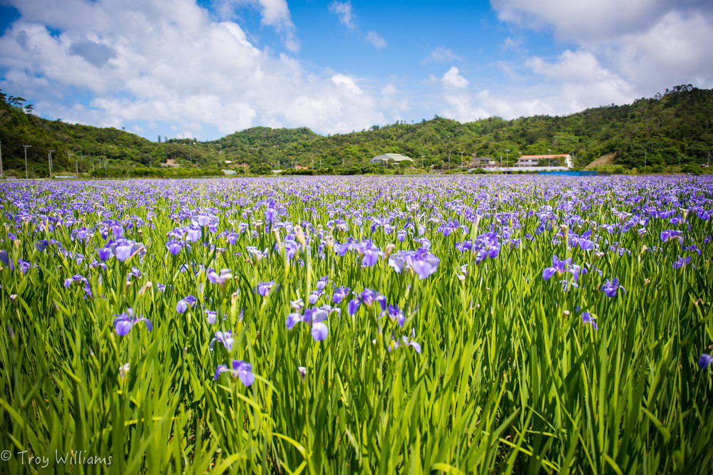 The iris fields of Ogimi Village, in the very northern part of Okinawa, bloom in February every year. Visitors walk the many paths between patches and plenty of native birds can be seen diving in and out of the fields. When there's some unseasonal humidity, mama-sans set up stands with cool refreshments for everyone.