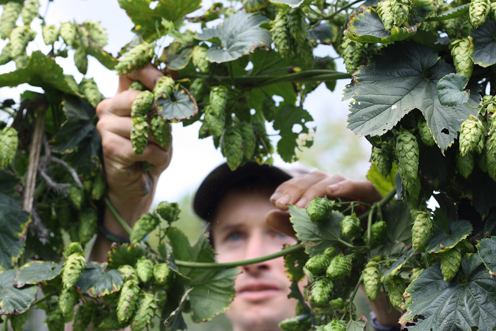 Robin Creamer harvests hops by hand at Sweet Morning Farm