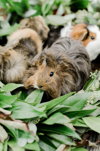 pet photo - guinea pig