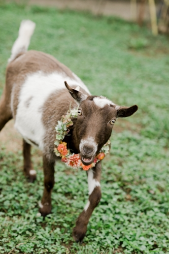 pet photo - goat