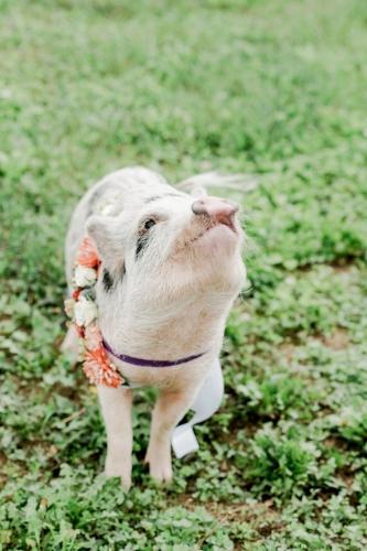 pet photo - pig