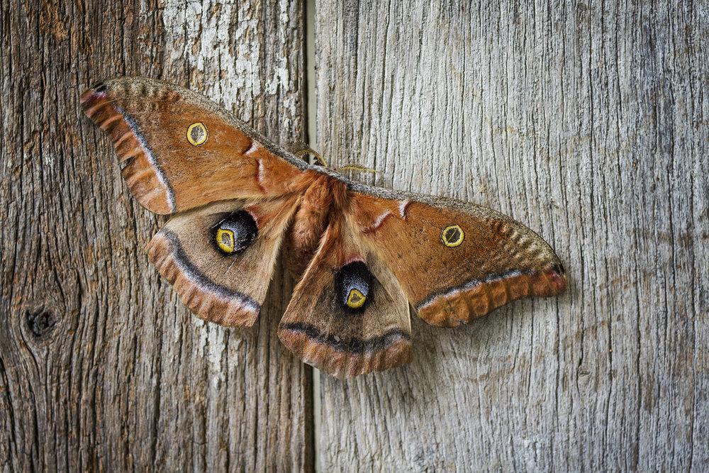 Moth_Polyphemus_0055.jpg