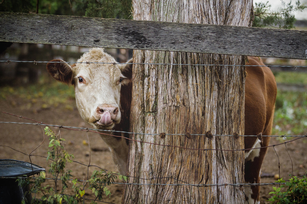 Cow_0011.jpg