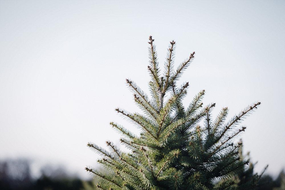 SneadsFarm_ChristmasTrees_0007.jpg
