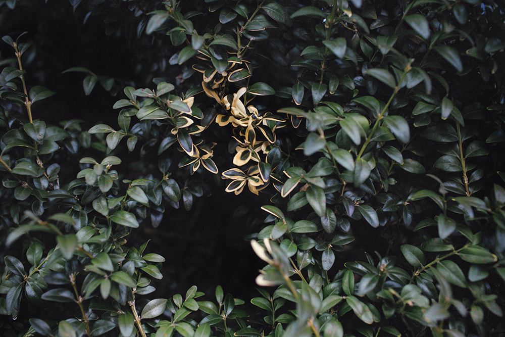 Hopkins_Euonymus_Shrub.jpg