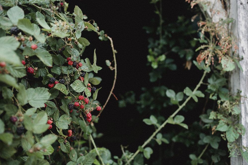 Blackberries_Shed_0020.jpg