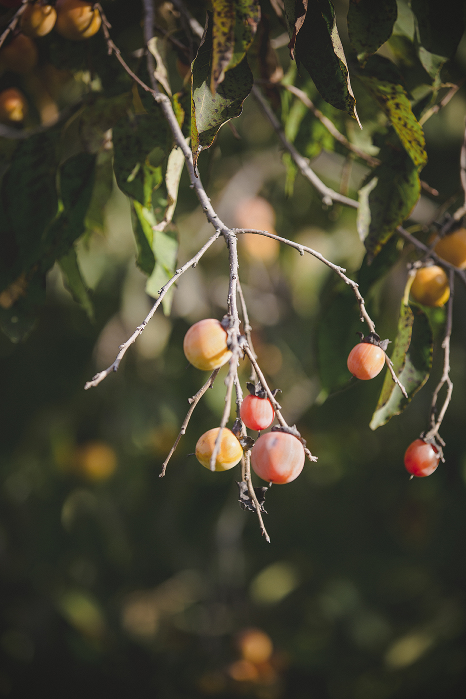 Persimmons_CourthouseRoad_0008.jpg