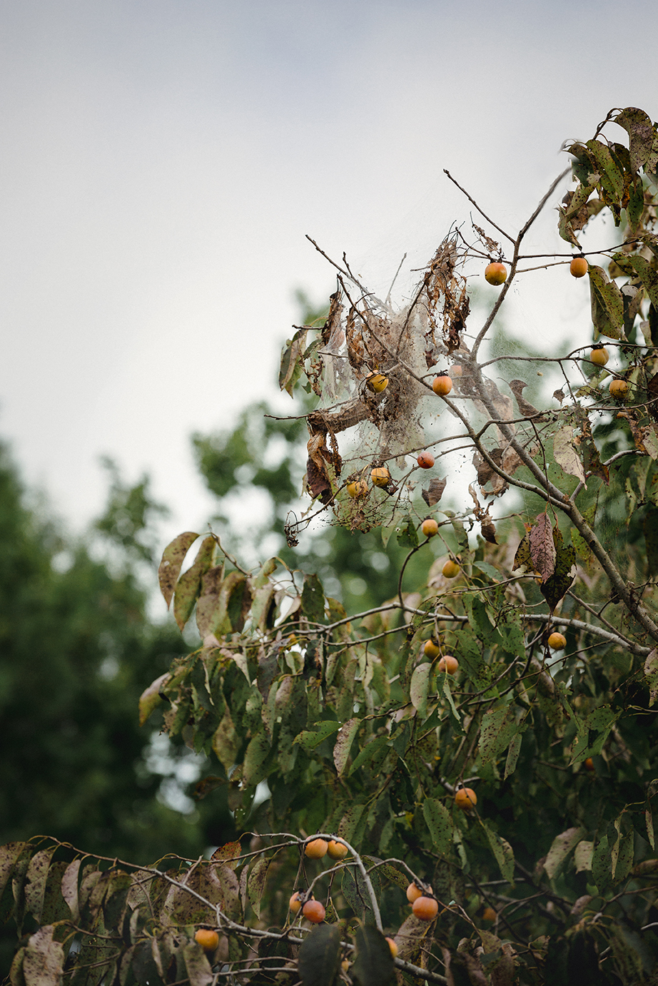 Persimmons_CourthouseRoad_0001.jpg