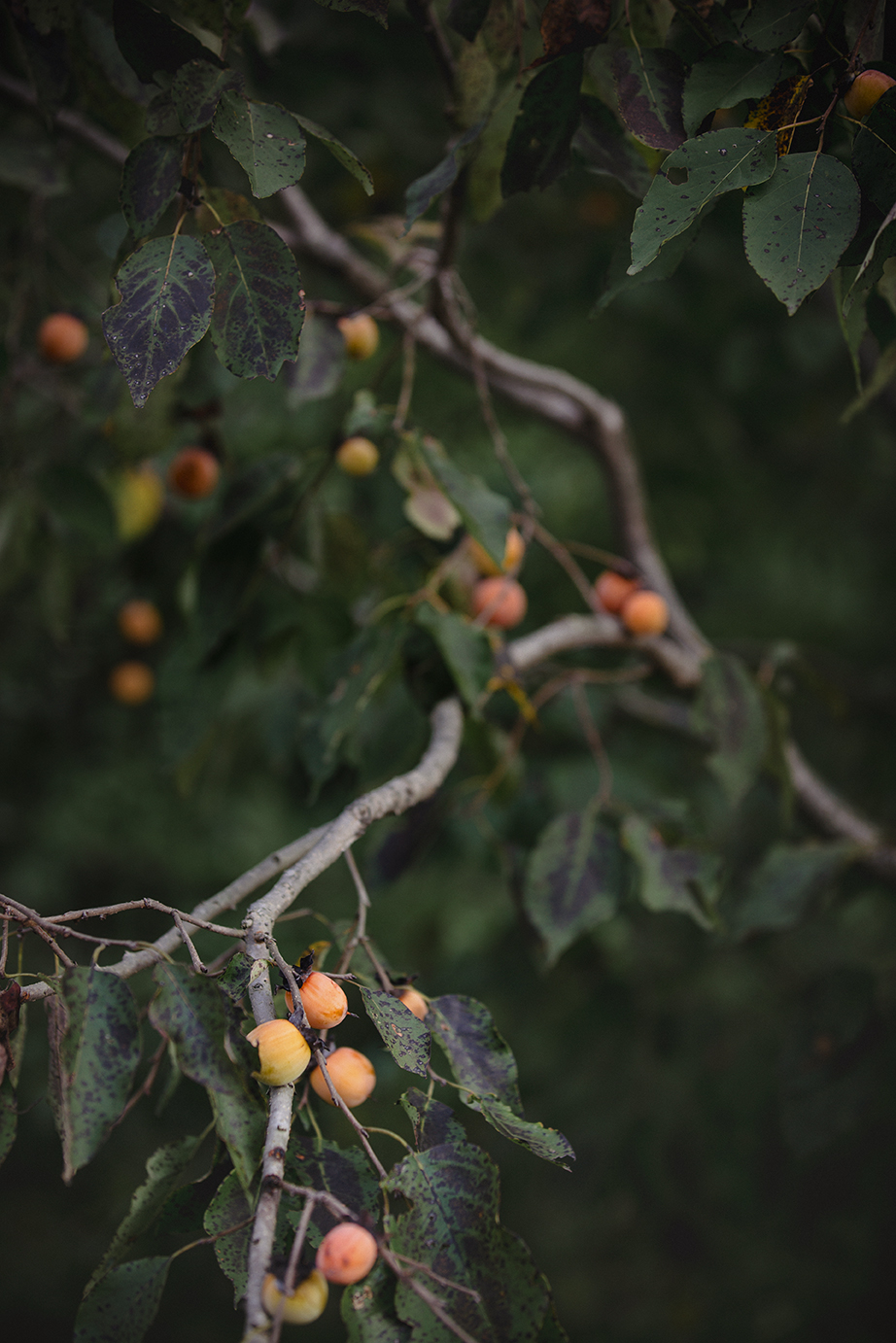 persimmons on Courthouse Road