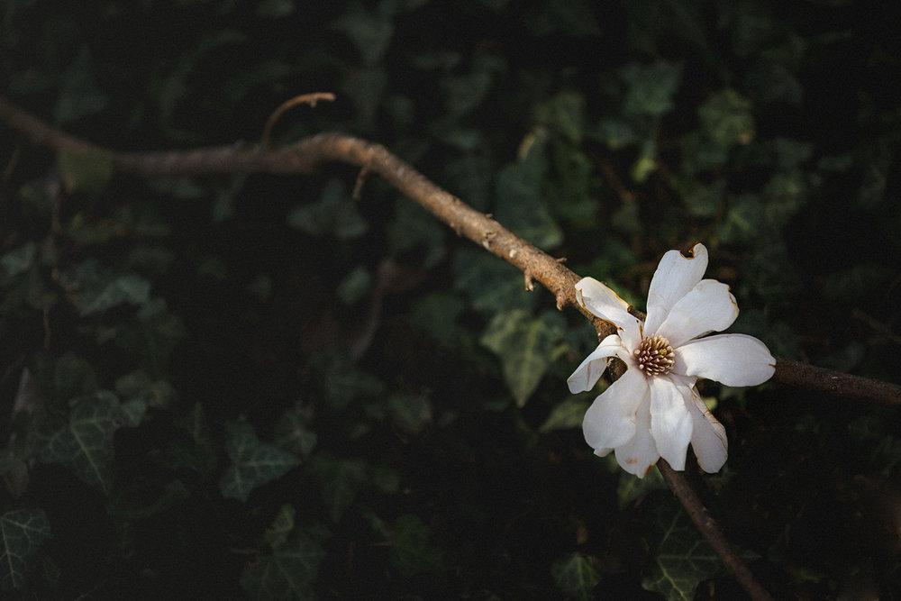 Star Magnolia, Fall Hill Avenue, Fredericksburg, Virginia