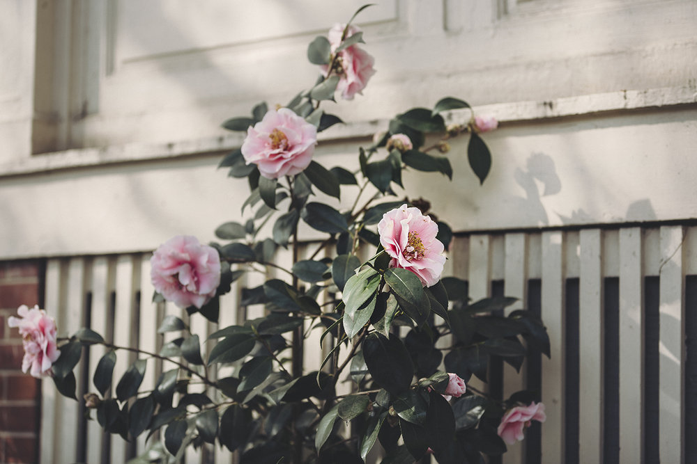 Camellias_Pink_White_0005.jpg