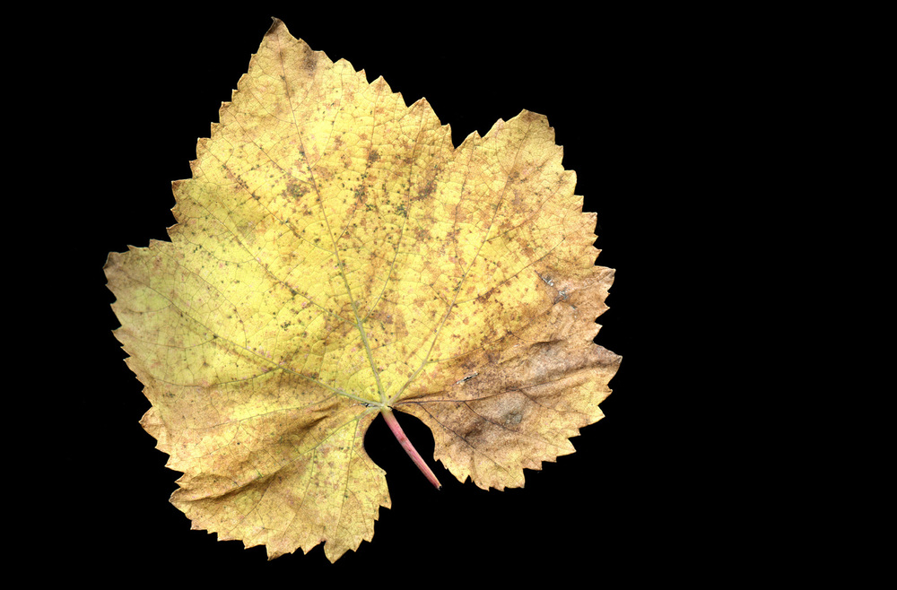wine_leaves032.jpg