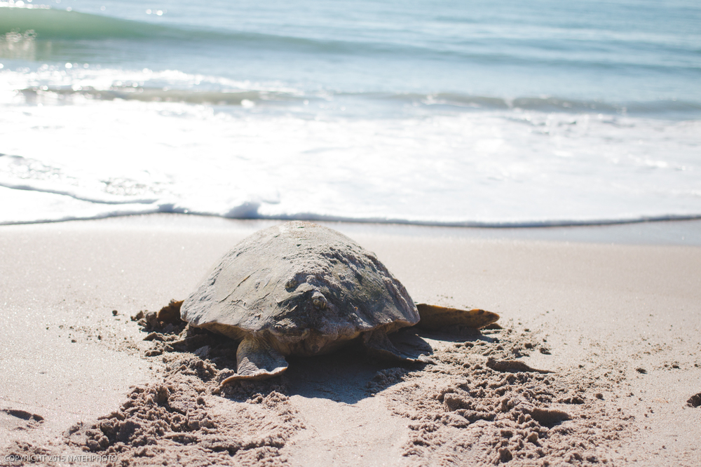 TurtleNesting_VeroBeach_Portfolio_natehphoto_June2016
