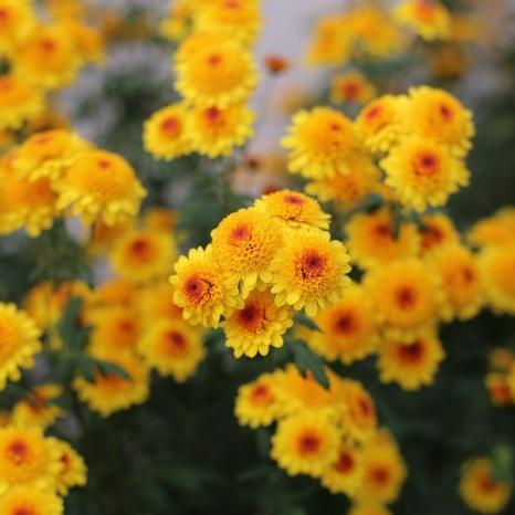 Chrysanthemum 'Klamath Falls'