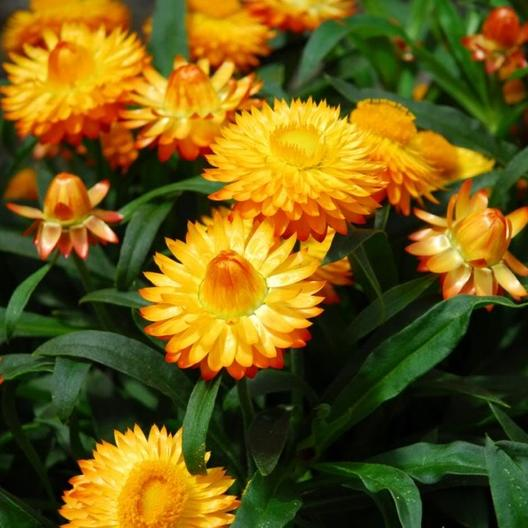*Strawflower 'Golden Yellow'